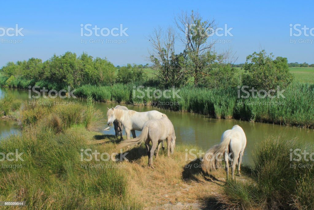 Horses of Camargue, France stock photo