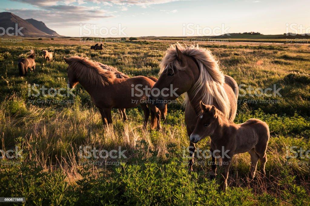 Horses of Iceland stock photo