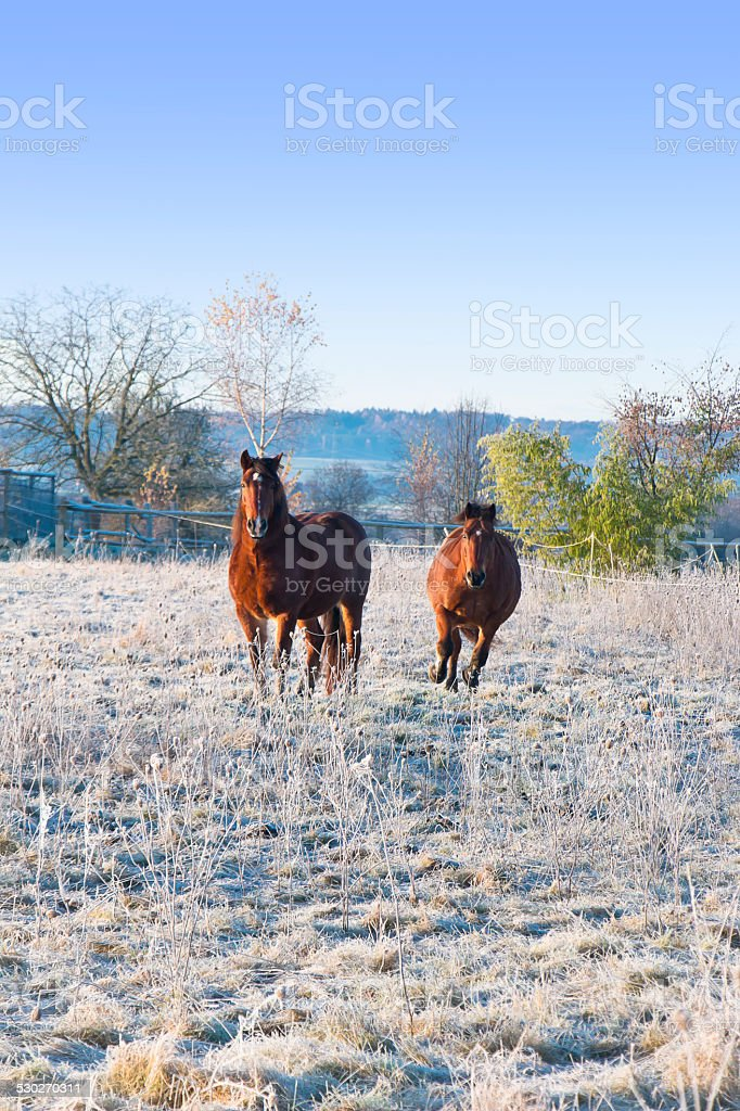 Horses on a cold winter morning stock photo