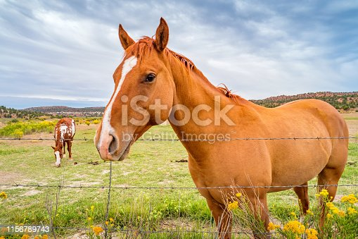Horses graze on a pasture in Utah USA on an overcast day.