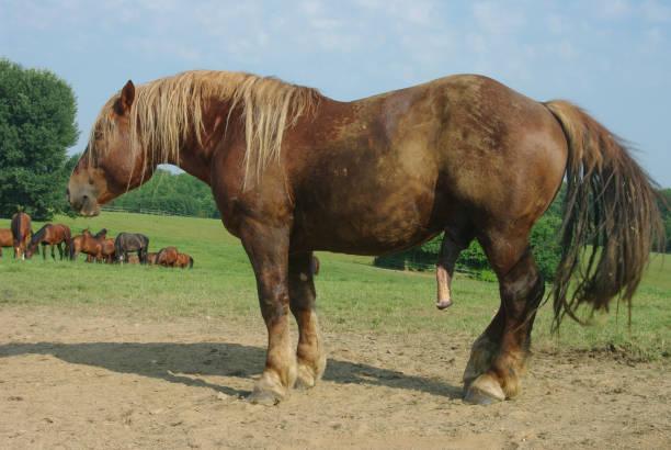 Horse Penis - Bilder und Stockfotos - iStock
