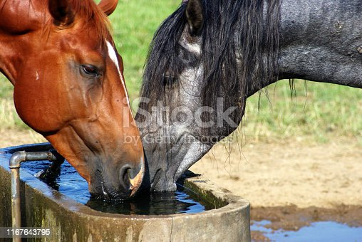Horses on a dry and warm summer day drinking an rolling in the dust