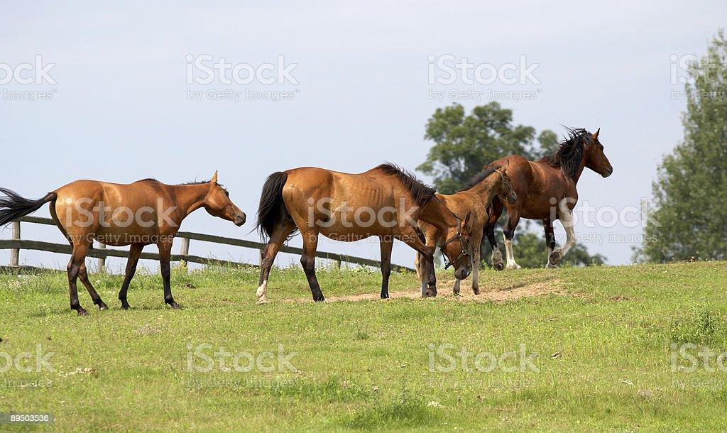 horses on freedom royalty-free stock photo