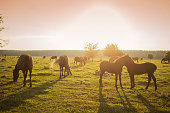 Holstein cows in the pasture with copy space in blue sky
