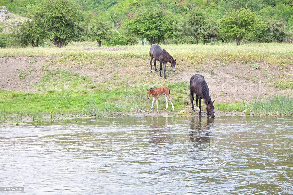horses on the river stock photo