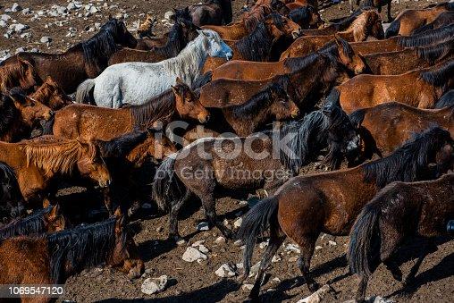 Herd of wild horses.
