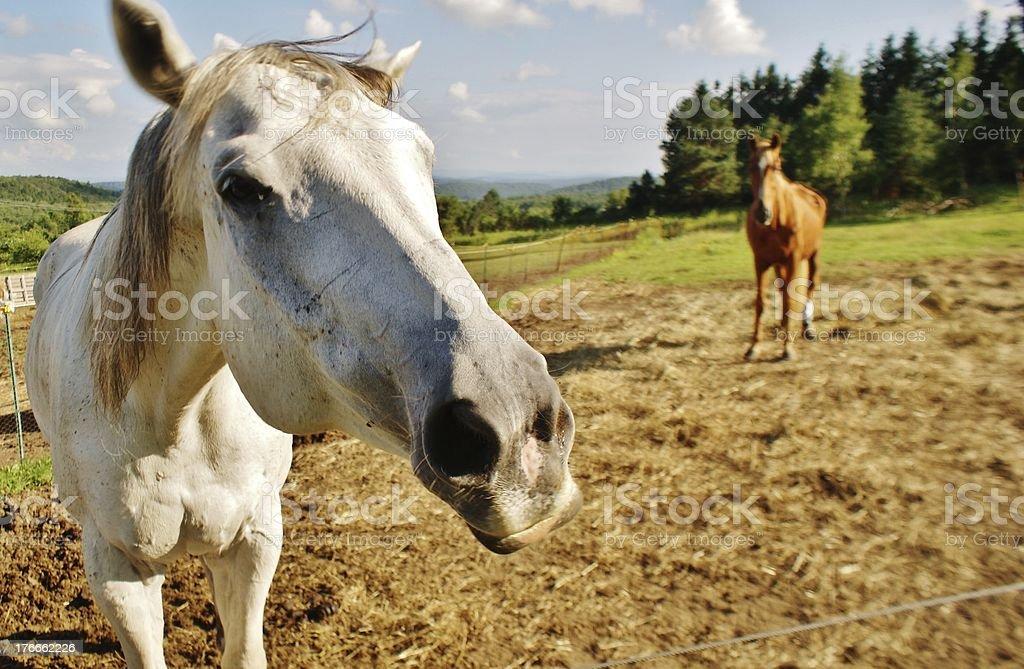 Los caballos foto de stock libre de derechos