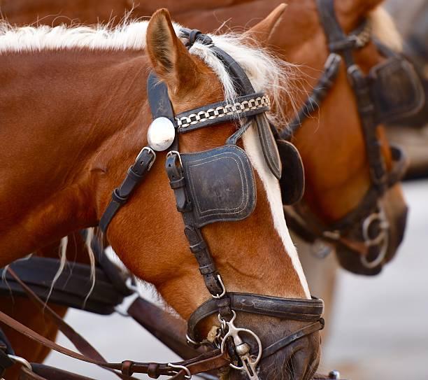 pferde - scheuklappe stock-fotos und bilder