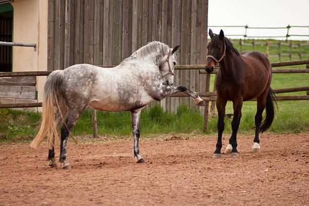 pferde spielen auf fahrerlager. kampf und natürlichen verhalten - pferdespiele kostenlos spielen stock-fotos und bilder