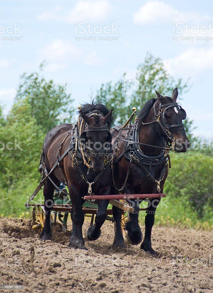 Horses Pulling Plow royalty-free stock photo