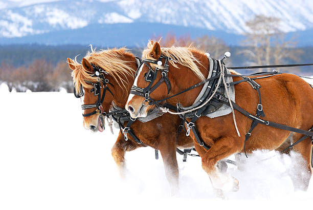 Horses Pulling Together stock photo