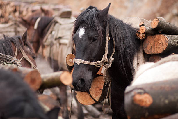 Horses pulling wood stock photo
