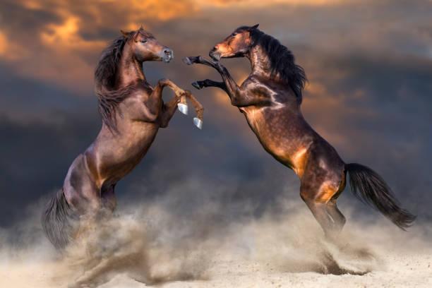 馬撫養 - 種馬 個照片及圖片檔