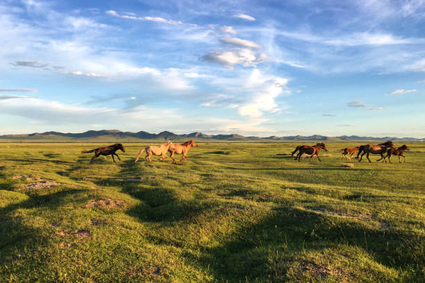 Horses run across plains in Mongolia stock photo
