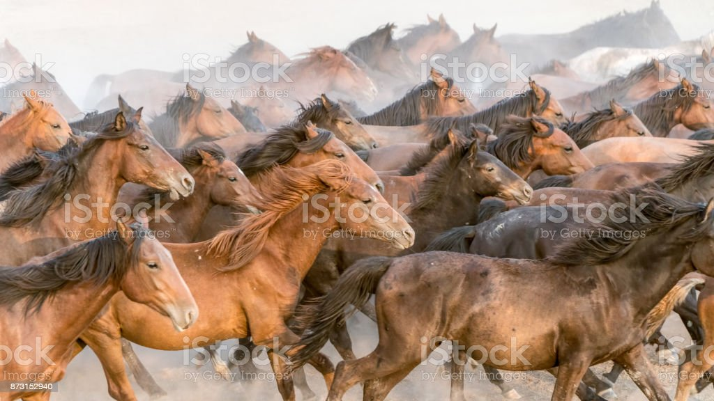 Horses run gallop in dust stock photo
