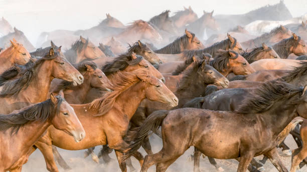 Horses run gallop in dust Kayseri, Turkey, August 2017: Horses running gallop n group in dust arabian horse stock pictures, royalty-free photos & images