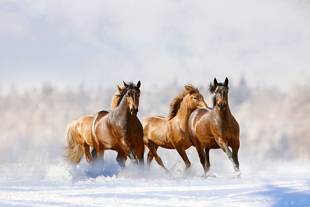 horses run - animals in the wild stock pictures, royalty-free photos & images