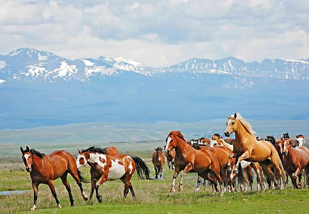 Horses Running and Jumping in the Rocky Mountains stock photo