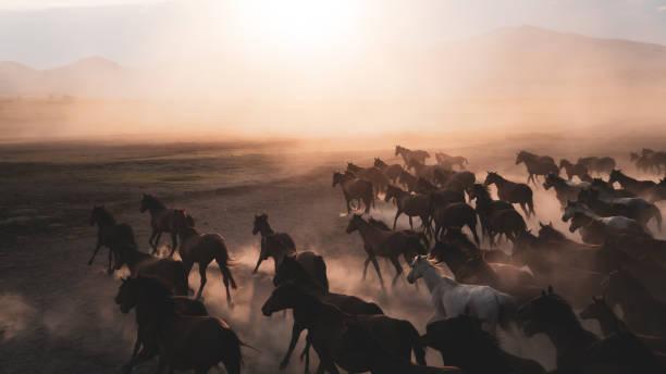 cavalli che corrono e prendono a calci la polvere. i cavalli yilki a kayseri in turchia sono cavalli selvaggi senza proprietari - fauna selvatica foto e immagini stock