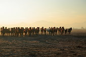 istock Horses running freely at sunset. 1196716047