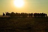 istock Horses running freely at sunset. 1196716091