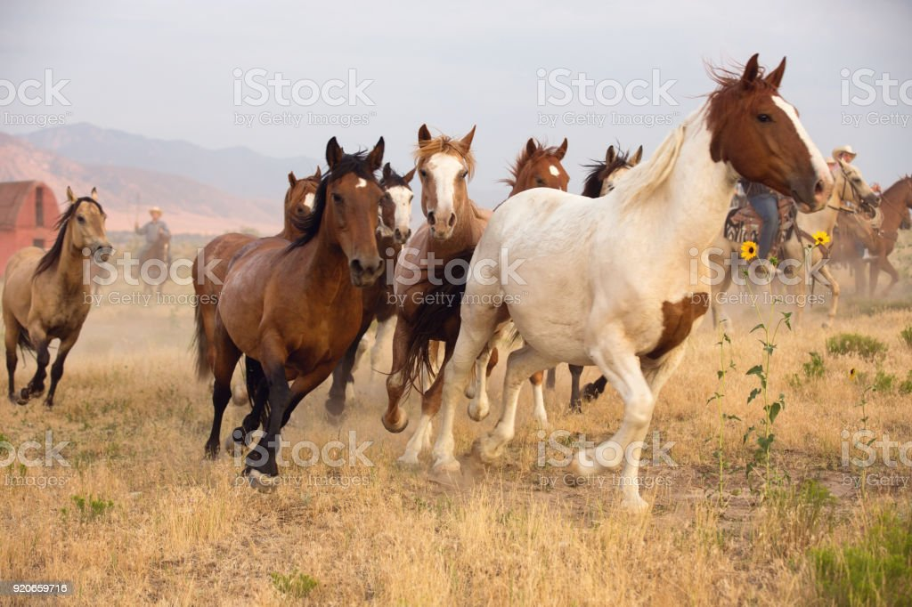 Horses Running In A Summer Roundup On a Utah Ranch stock photo