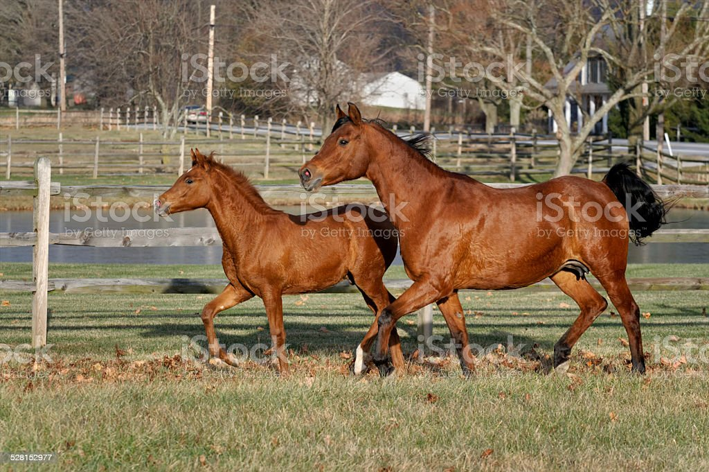 Horses Running In Pasture Arabian Mare Mother And Baby Colt Stock Photo Download Image Now Istock