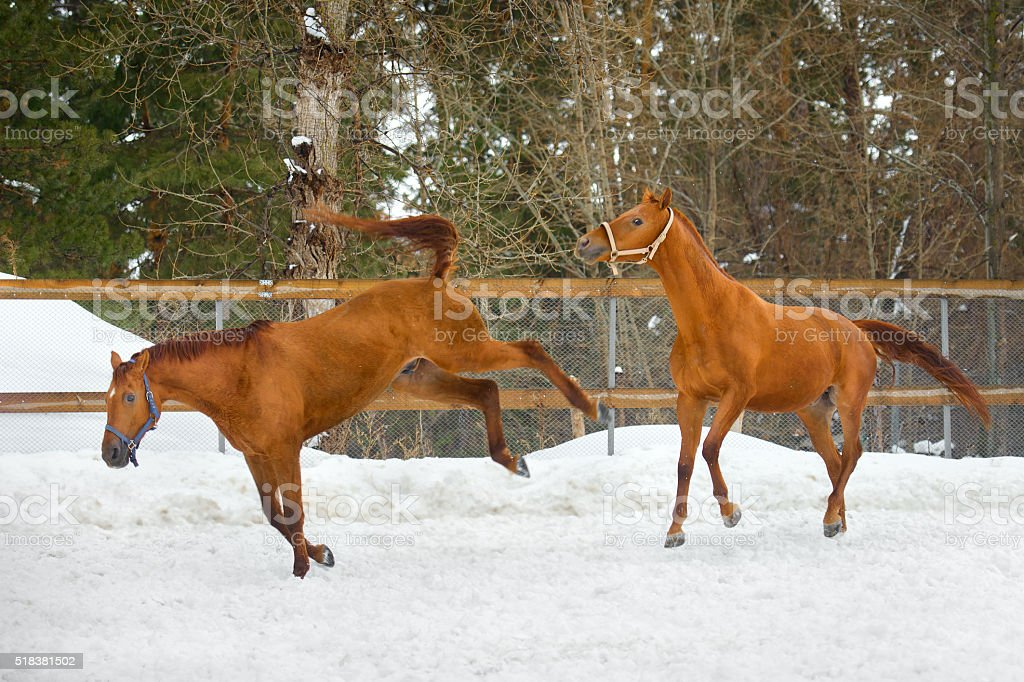 horses running in the paddock in winter stock photo