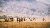 Horses running on a ranch in the desert of Utah, USA.