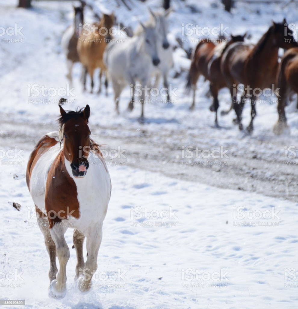 Horses running on the ranch in Montana USA 03 stock photo