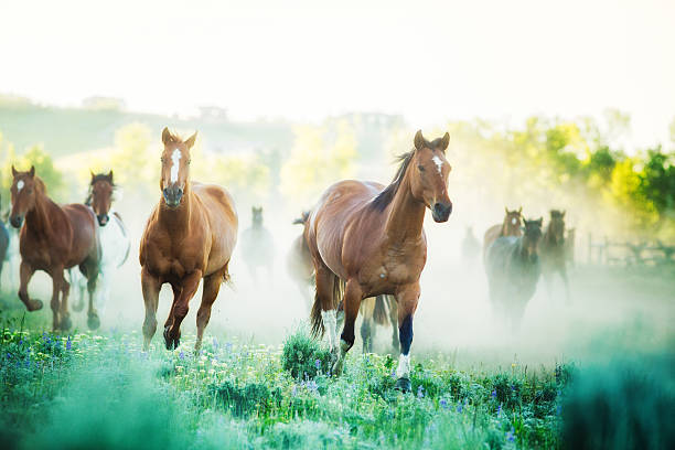 horses running to pastures foggy summer morning montana ranch - wildlife stock photos and pictures