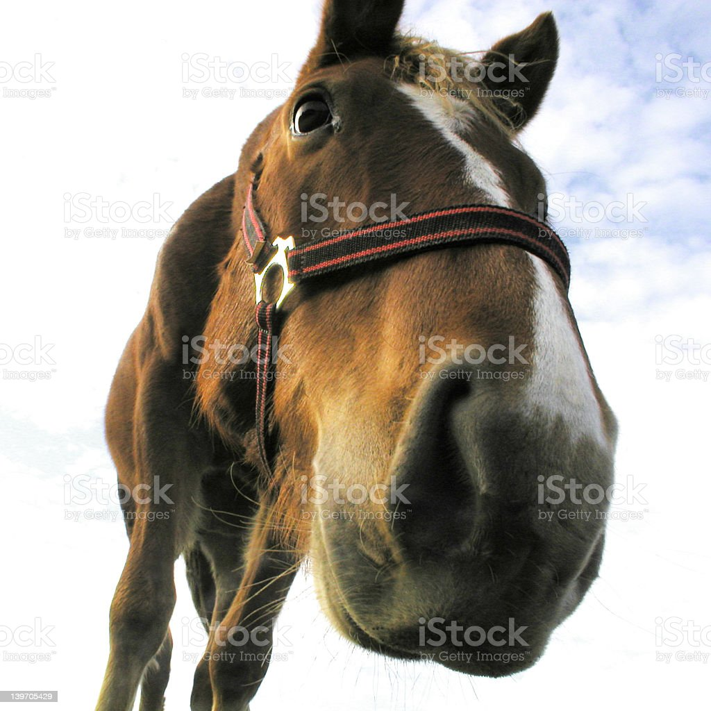 horse's snout stock photo