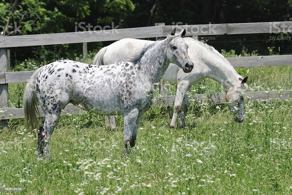 Horses Standing in Green Pasture with Wildflowers, Appaloosa stock photo