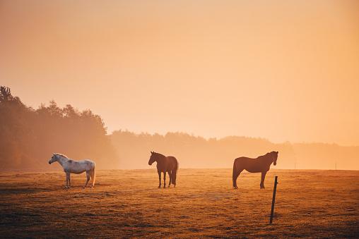 Horses together in orange autumn morning mist