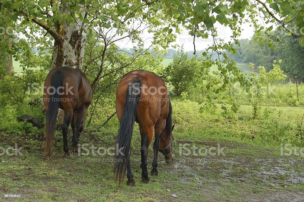 Horses Under A Sycamore Tree stock photo