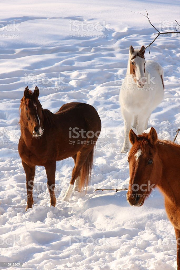 Horses waiting for their breakfast stock photo