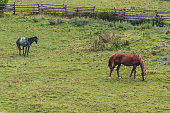 Horses walk across mountain meadow, southwest Poland.