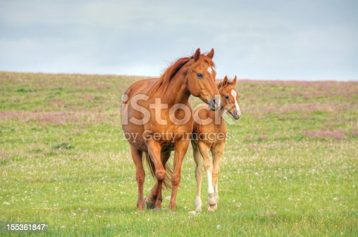 A mare and her foal walk across a flower filled meadow.