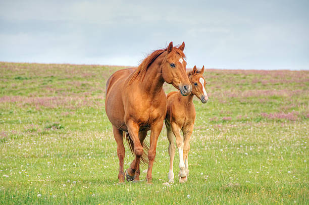 Horses walk across mountain meadow A mare and her foal walk across a flower filled meadow. foal young animal stock pictures, royalty-free photos & images