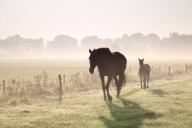 horses walk on misty pasture - heat haze stock pictures, royalty-free photos & images