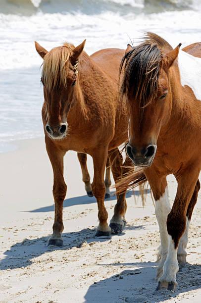 Horses walking the Beach at Assateague Island, Maryland stock photo