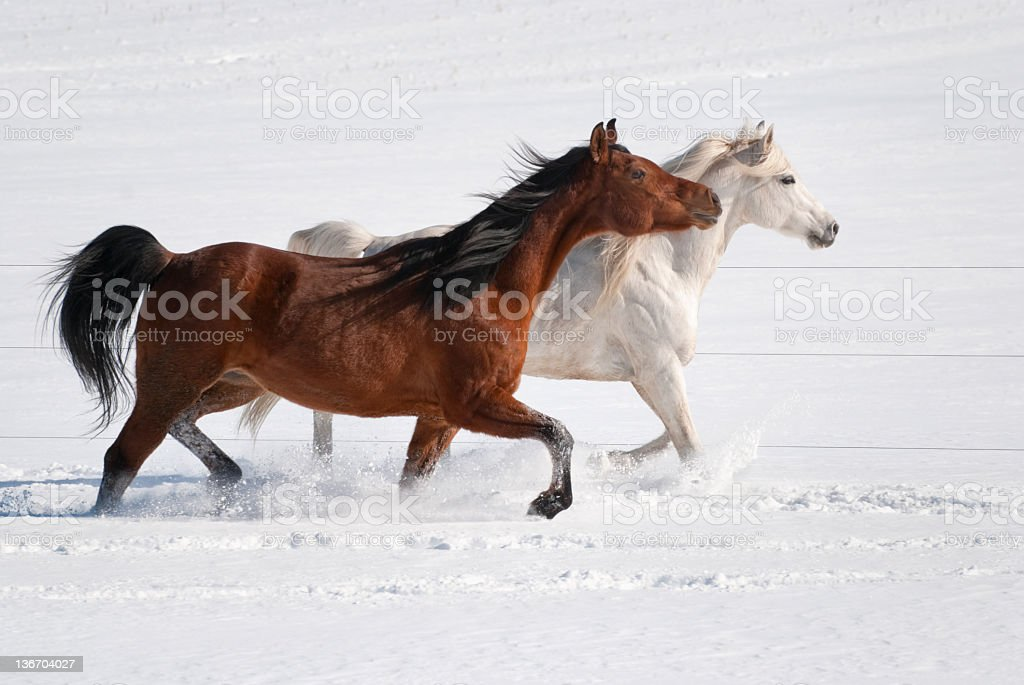 Horses Walking Together in Fresh Snow, Winter Arabians stock photo