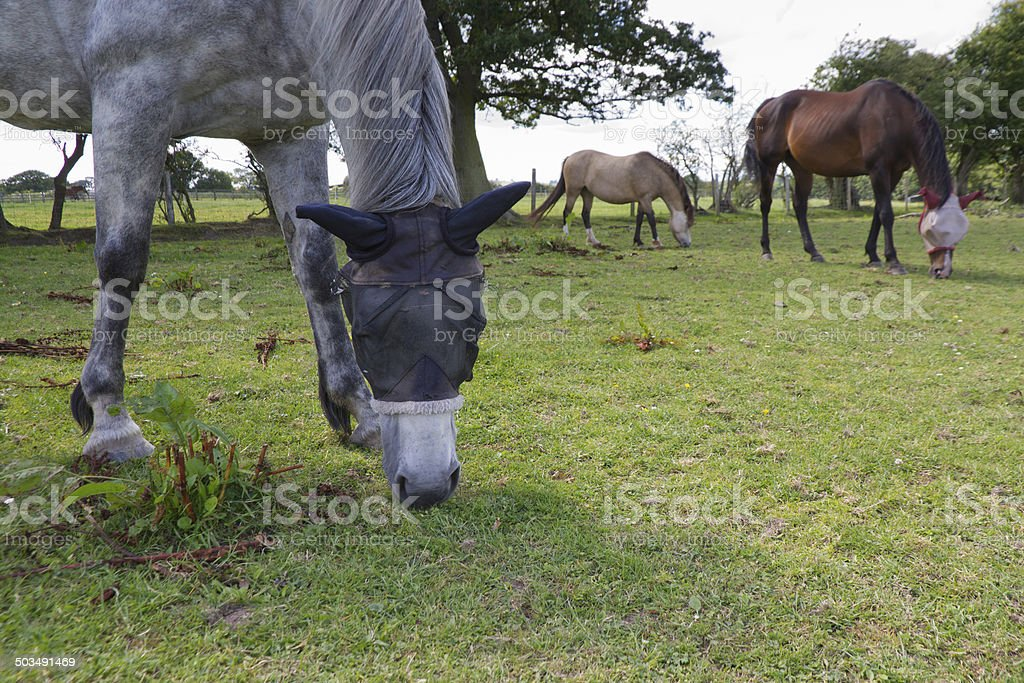 Horses wearing fly nets on heads. stock photo