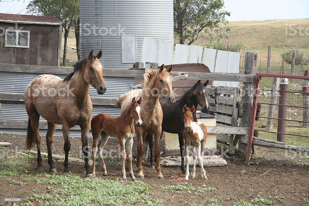 Horses with colts royalty-free stock photo