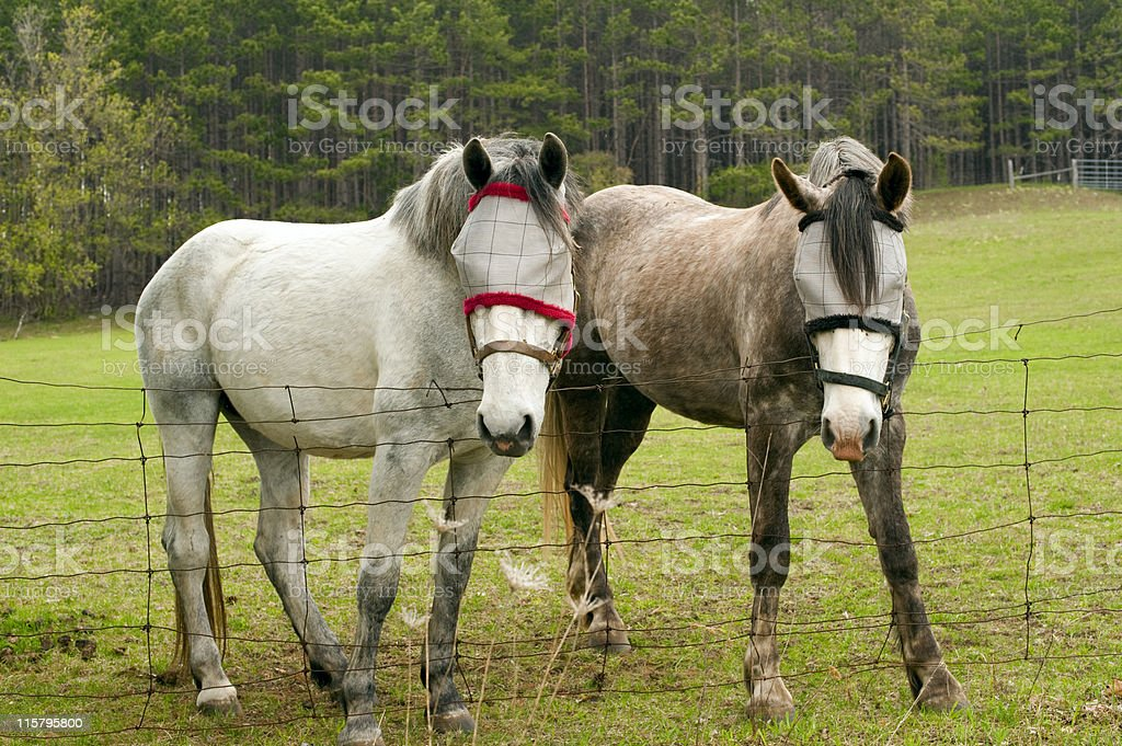 Horses with Fly Protection royalty-free stock photo