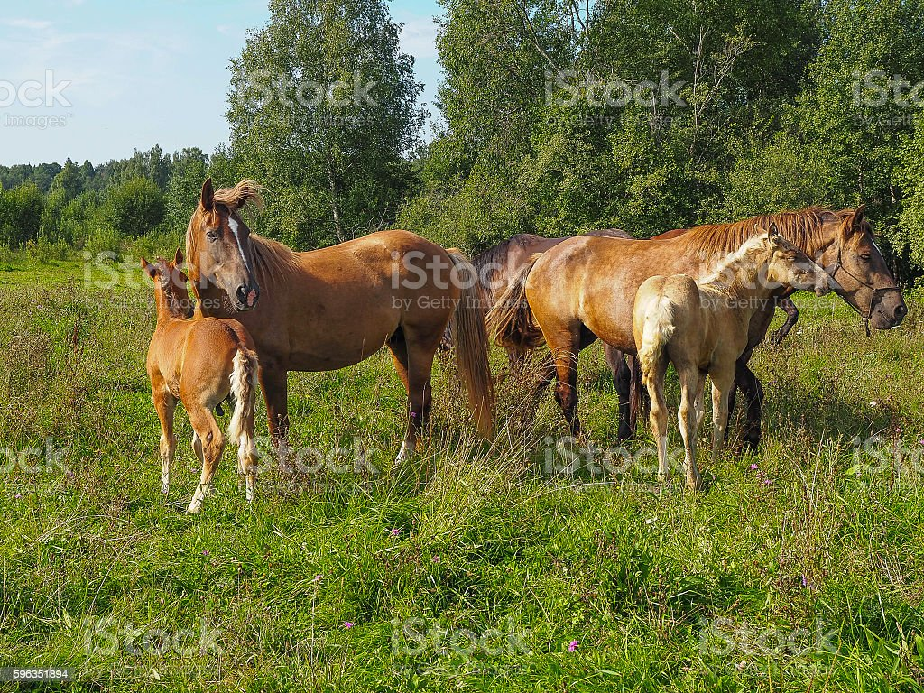 Horses with their foals in the pasture, Tver region, Russia royalty-free stock photo