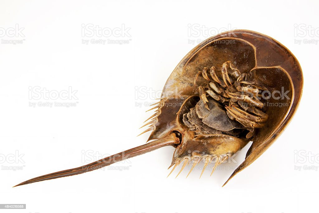 Horseshoe Crab lie supine stock photo