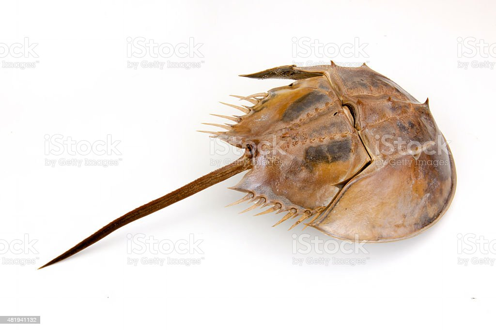 Horseshoe Crab on isolated stock photo