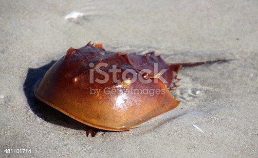 horseshoe crab on a sandy beach in Cocoa Beach, Fl