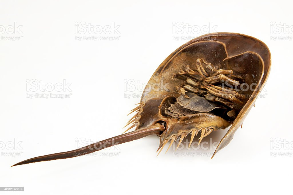 Horseshoe Crab on upturned stock photo